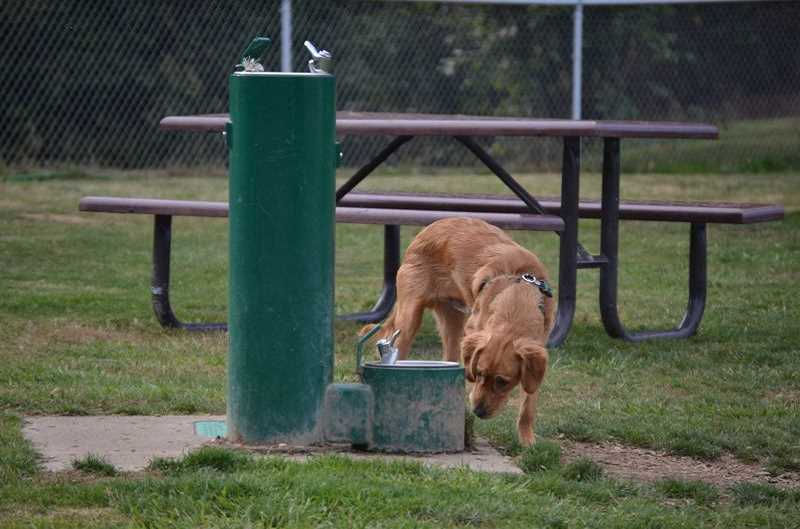 PMG PHOTO - A dog sniffs out a water fountain at the Scappoose off-leash dog park in Veterans Park.