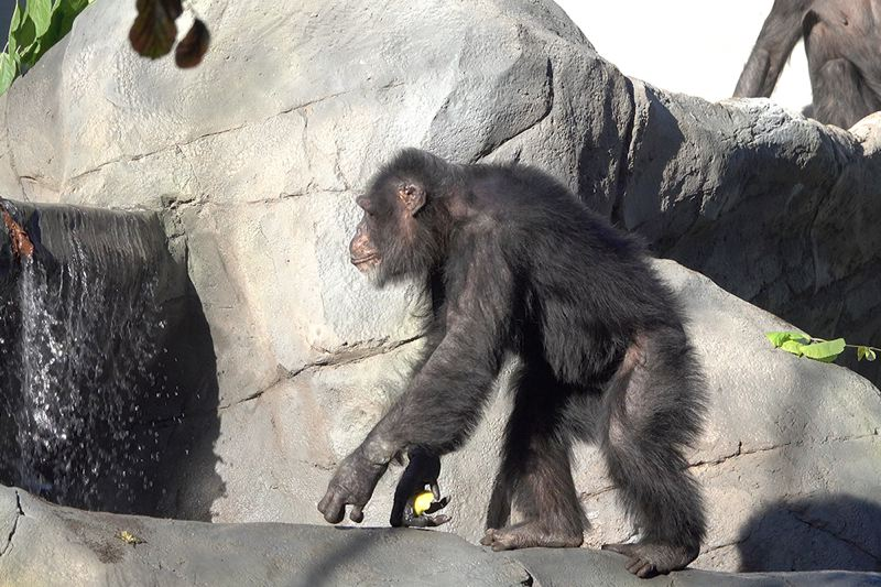 COURTESY PHOTO: MICHAEL DURHAM/OREGON ZOO - Chimpanzees have begun to move in at the Oregon Zoo's Primate Forest habitat.