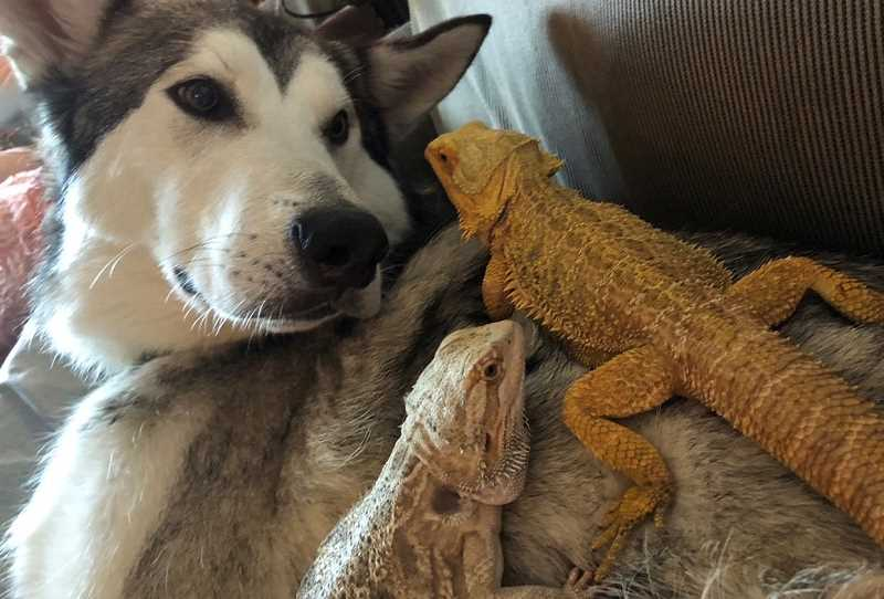 COURTESY PHOTO - Lladk tolerates the family's bearded dragons crawling on his back.