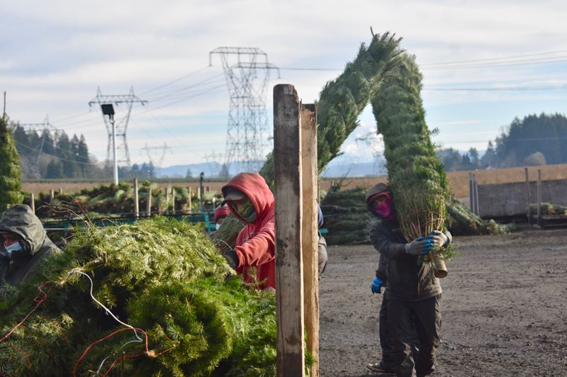 PMG PHOTO: EMILY LINDSTRAND - Employees at McKenzie Farms carry Christmas trees to be prepared for delivery.