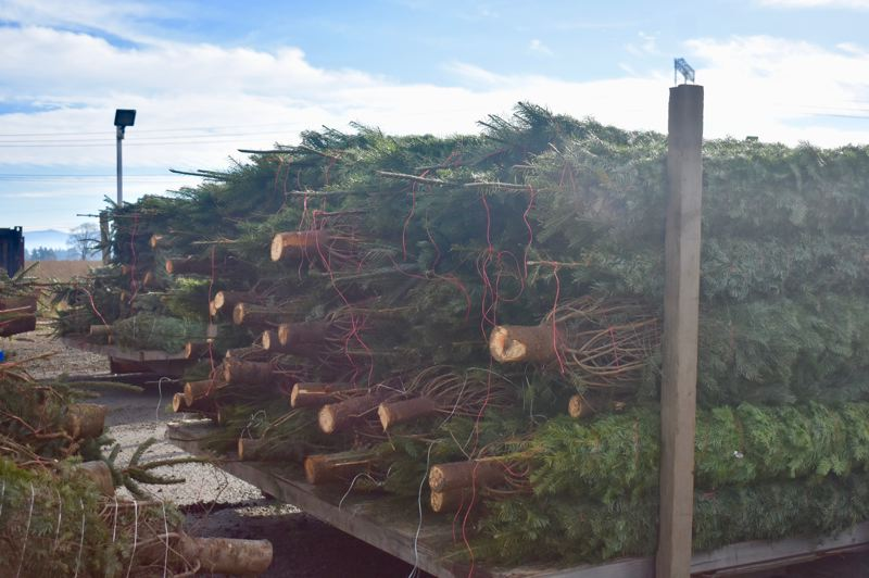 PMG PHOTO: EMILY LINDSTRAND - Christmas trees from McKenzie Farms are prepared for shipment across the state.
