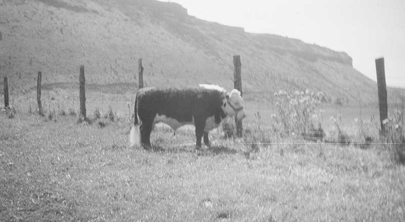 PHOTO COURTESY OF BOWMAN MUSEUM  - The bull that attacked C.D. Calbreath didn't cause any alarm at first, but got enraged for unknown reasons.