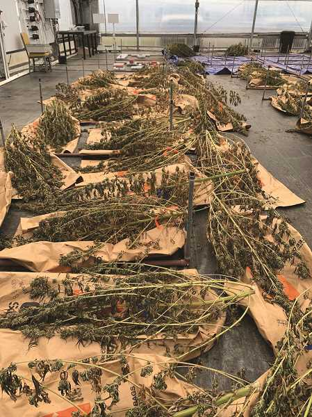COURTESY PHOTO: NWREC - Hemp at the NWREC in Aurora set out for drying.