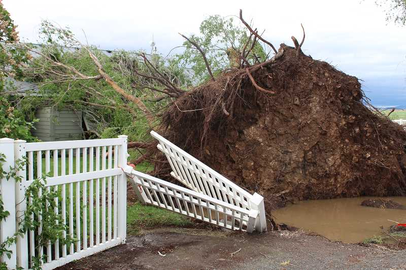 TONY AHERN/MADRAS PIONEER  - The massive winds uprooted this tree cluster at the Cloud farm on Highland and Feather, one of many severe residential damages the early afternoon May 30, 2020, storm caused in Jefferson County.