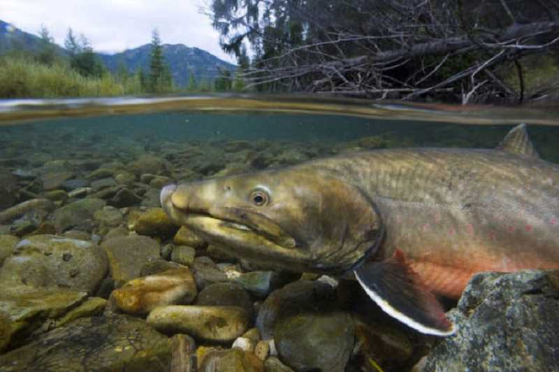 PHOTO COURTESY OF ODFW  - The aquatic species covered by the U.S. Fish and Wildlife Service in the Habitat Conservation Plan includes bull trout.