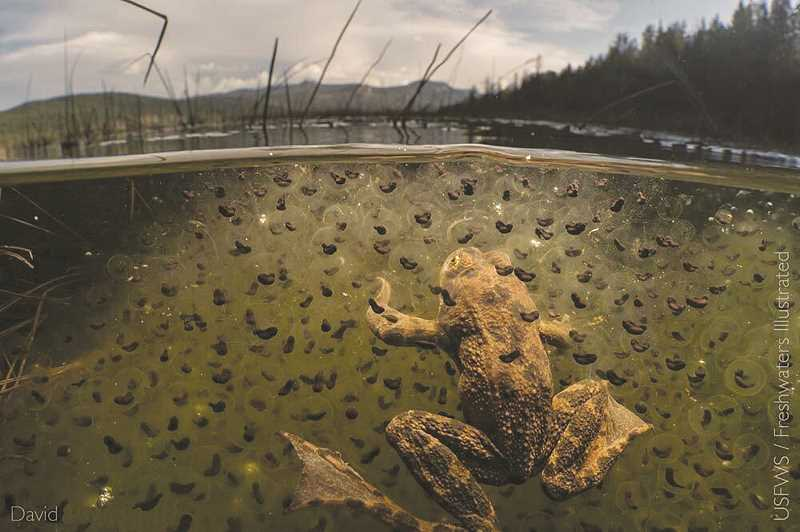 PHOTO COURTESY OF FRESHWATERS ILLUSTRATED/USFWS - The Oregon spotted frog is one aquatic species covered by the U.S. Fish and Wildlife Service Habitat Conservation Plan.