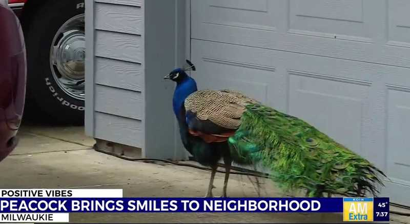COURTESY PHOTO: KOIN 6 NEWS - Milwaukie residents don't know where Charlie the peacock came from but they've come up with theories like he escaped from a sanctuary or captivity.