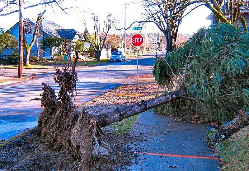 ERIC NORBERG - After the first big storm of 2021 blew through, the high winds on the night of January 12 found trees and wires down in the area from the strong gusts. This small tree blew down across the sidewalk on S.E. Claybourne Street near 19th Avenue in Westmoreland.