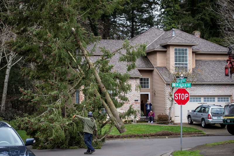 PMG PHOTO: JAIME VALDEZ - A tree crew worker guides a section of a Douglas fir along 100th Drive and Alsea Court on Monday, Jan. 18, after it was removed from a forested area nearby after winds caused it to lean.