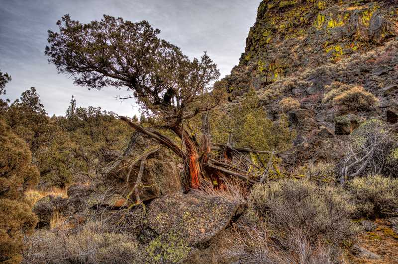 LON AUSTIN  - Ancient junipers are an iconic element of the Badlands Wilderness Area, which was designated in 2009.