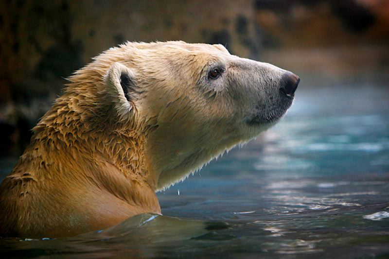 COURTESY PHOTO: HOGLE ZOO - The Oregon Zoo will welcome back polar bear Nora in March. She's been living at Utah's Hogle Zoo while work was being done on the Oregon Zoo's Polar Passage habitat.