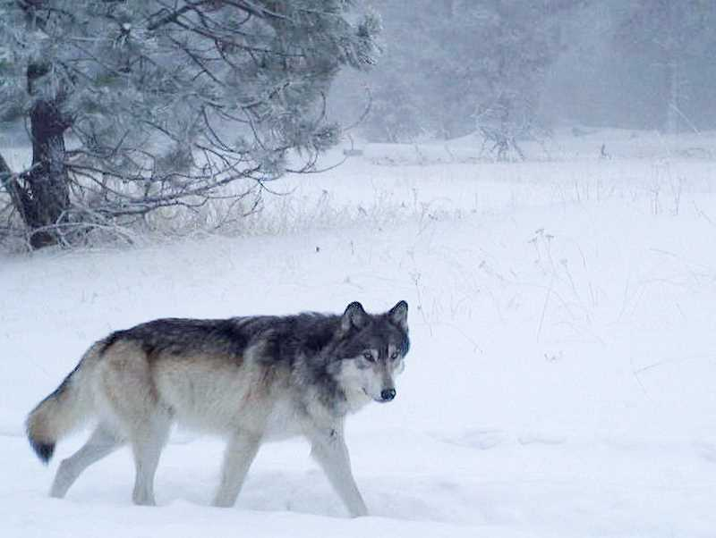 CONTRIBUTED PHOTO - Wolves in Oregon remain protected under the state's Oregon Wolf Conservation and Management Plan.