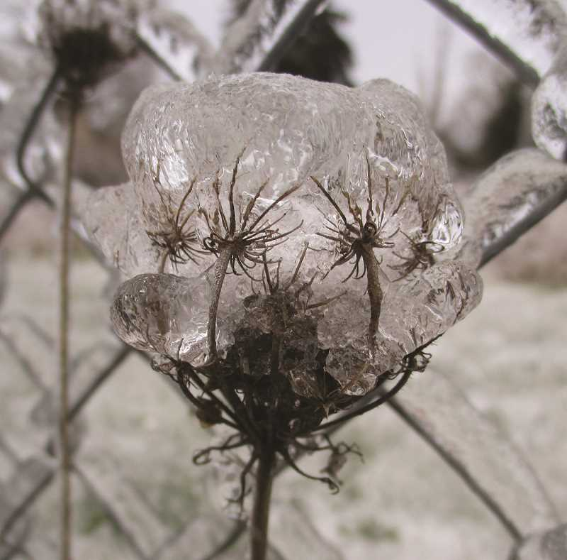 PMG PHOTO: DEBORAH GUINTHER - Evidence of just how much ice accumulated Friday through Sunday is shown on a single stem of a plant.