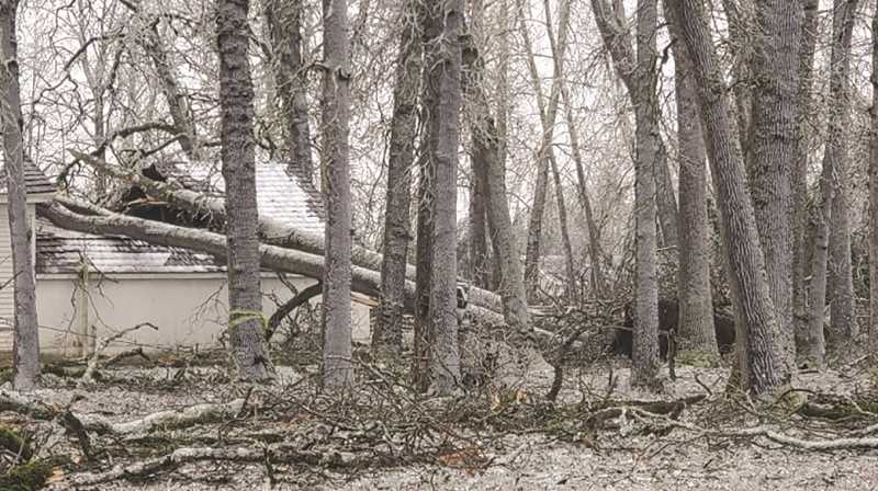 COURTESY PHOTO: BLAINE SESSIONS - A look at the trees that feel on the property and the Mark Prairie Schoolhouse during the weekend's winter storm.