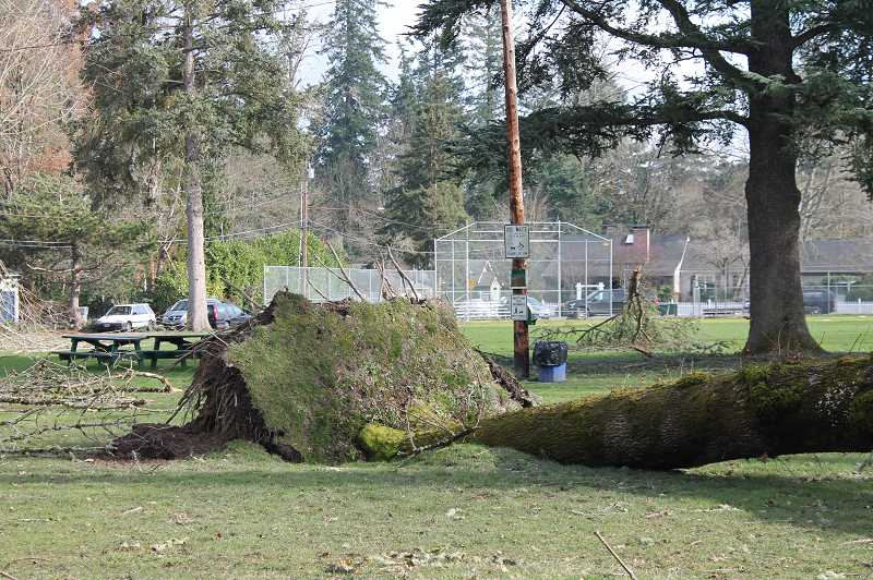 PMG PHOTO: HOLLY BARTHOLOMEW - The weekend's storm uprooted multiple trees in Hammerle Park.