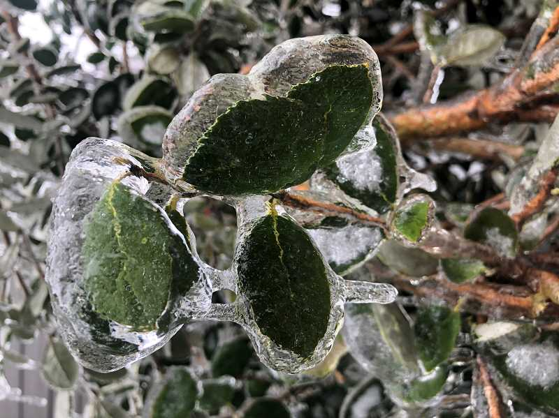 PMG PHOTO: KRISTEN WOHLERS - Trees and plants of all kinds were overtaken by ice Feb. 12-14.
