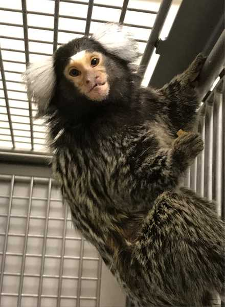 COURTESY PHOTO: STOP ANIMAL EXPLOITATION NOW! - A marmoset peers through a cage at Oregon Health & Science University's Marquam Hill/South Waterfront research lab. OHSU has received complaints and citations stemming from the death of two marmosets at its facility.