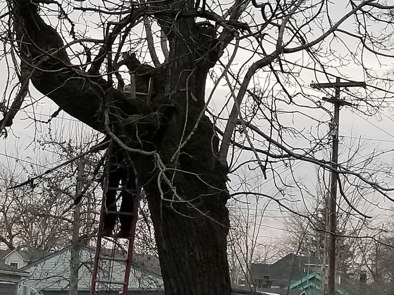 COURTESY PHOTO: RUTH HERMAN WELLS - A Woodburn resident trims a tree determined by an arborist to be an immediate threat to his home.
