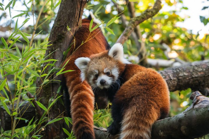 COURTESY PHOTO: MICHAEL DURHAM/OREGON ZOO - Red pandas Pabu (foreground) and Mei Mei will be relocated to ZooMontana in March. Visitors can see them until March 9 at the Oregon Zoo.