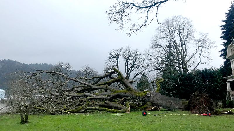 COURTESY PHOTO: MARGO CRAIG - This Oregon white oak was Heritage Tree No. 200 in the St. Johns neighborhood. It was a casualty of recent winter storms.