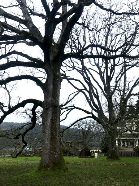 COURTESY PHOTO: MARGO CRAIG - St. Johns area White Oak trees have been witnesses to a lot of the region's history.