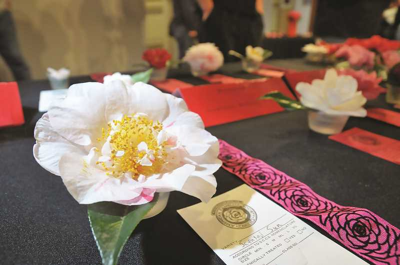 PMG FILE PHOTO - In addition to a 5K run/walk, this year's Camellia Festival will also include a bloom show staged by the Oregon Camellia Society.