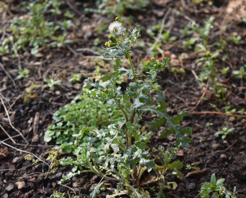 PMG PHOTO: TERESA CARSON - Weeds! Learn tips to keep them under control in your garden in an online seminar Saturday, March 6, presented by the East Multnomah Soil and Water Conversation Disrict. See listing for details.