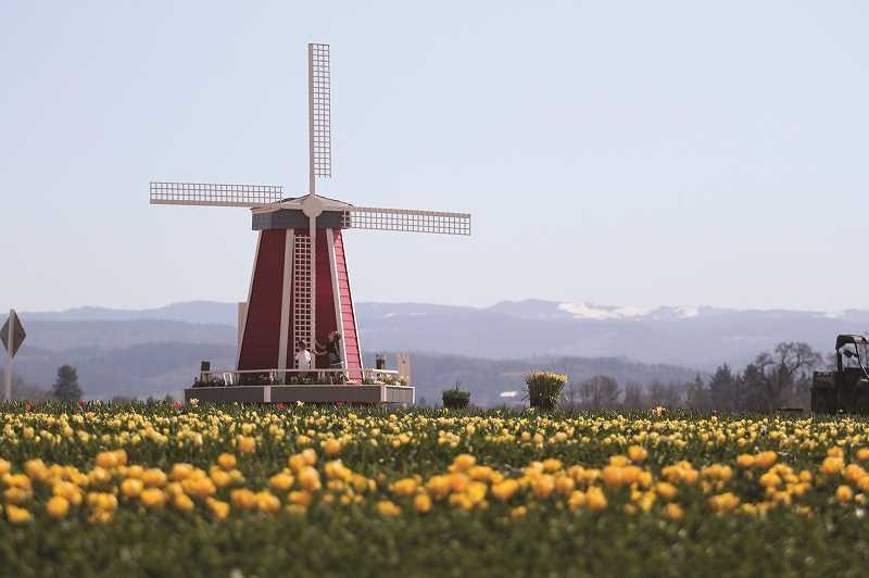 PMG PHOTO: PHIL HAWKINS - The 2021 Wooden Shoe Tulip Festival kicks off on March 19.