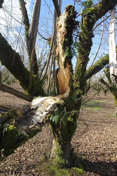 PMG PHOTO: JUSTIN MUCH - While many hazelnut trees lost big branches, others split down the middle. Most of those will likely have to be pulled from the ground and replaced anew.