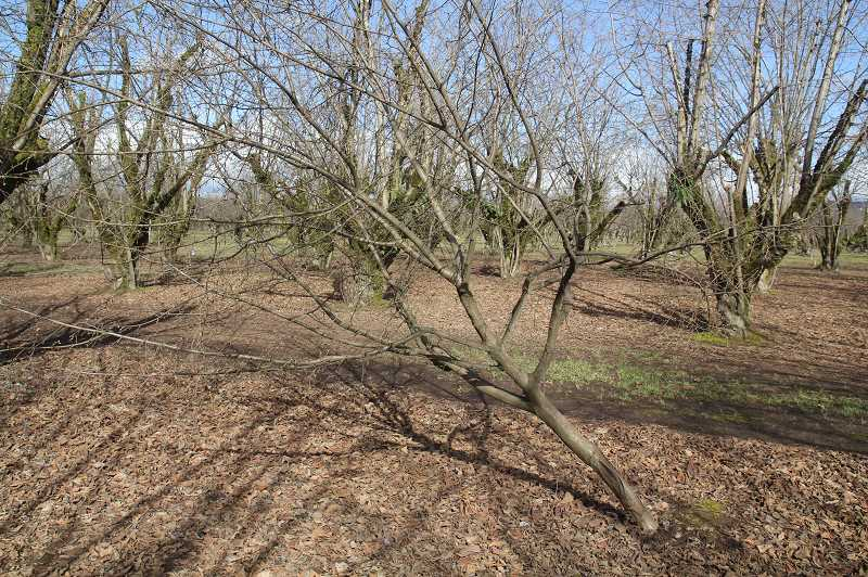 PMG PHOTO: JUSTIN MUCH - Some young hazelnut trees and trees with shallow roots were left leaning at angles after the ice storms. They will have to uprighted.