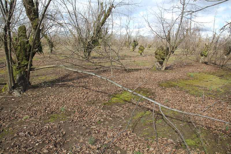PMG PHOTO: JUSTIN MUCH - One of Melcher Family Farm hazelnut orchards yet to be cleared on Mineral Springs Road, a short hop outside of Hubbard. Clearing the orchards of damaged limbs is vital so growers can spray for blight and fertilize.