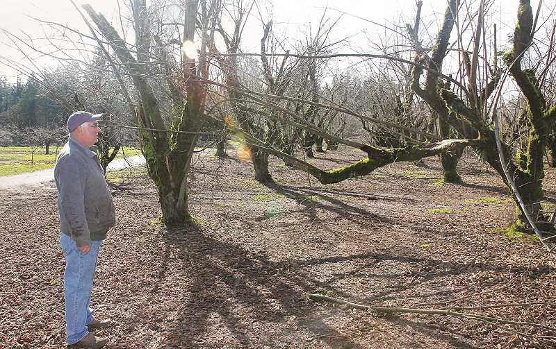 PMG PHOTO: JUSTIN MUCH - Dennis Melcher of St. Paul talks walks through an orchard with broken limbs, split and leaning trees and other damages rendered to one of his orchards by the February ice storm.