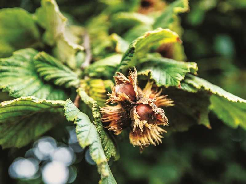 PMG FILE PHOTO - Oregon is the largest producer of hazelnuts in the United States, with most farms residing in Yamhill or Marion counties.