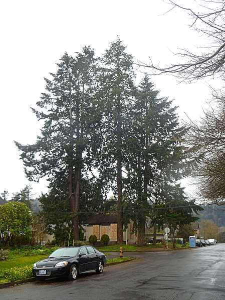 EILEEN G. FITZSIMONS - Three tall Douglas fir dwarf a tiny house at the corner of S.E. Ninth and Harney Streets in Sellwood. The future of the trees is uncertain, but removal of the house is already underway.