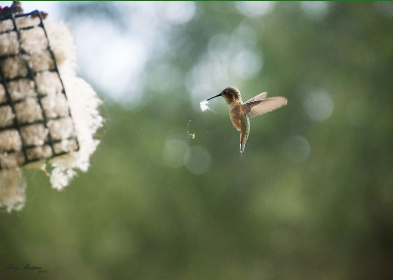 COURTESY PHOTO: TERRY MAUPIN - Hummingbird nesting material can include pet fur, plant down, feathers, coconut fibers, dried grasses, cut string or yarn housed in a clean suet cage.