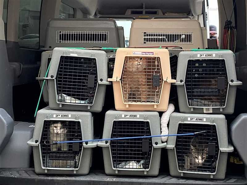 COURTESY PHOTO: CAT ADOPTION TEAM - These cats and kittens were being transported to Oregon for adoption after being displaced by storms in the South, including Texas.