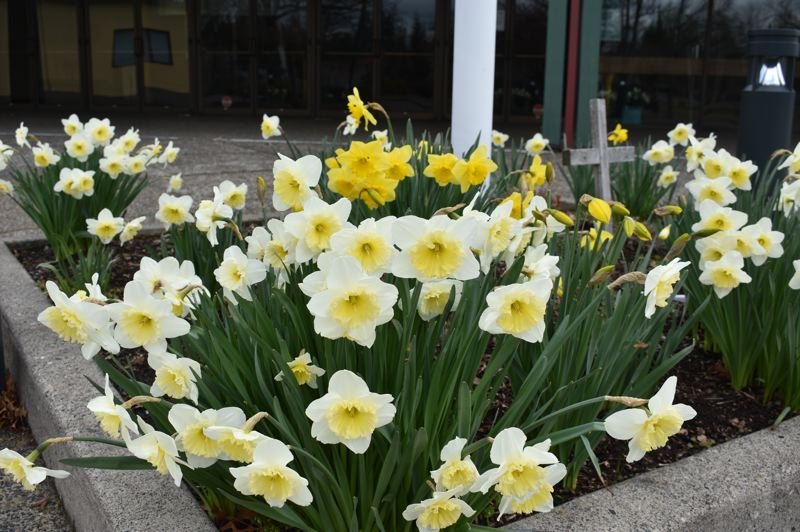 PMG PHOTO: TERESA CARSON - Daffodils outside East Hilll Family Church beckon worshipers for three in-person Easter services. Numbers of people will be limited, masked and socially-distanced.