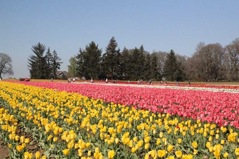 PMG FILE PHOTO - The Wooden Shoe Tulip Farm will host the annual Community Easter Sunrise Service on April 4 at 7 a.m.