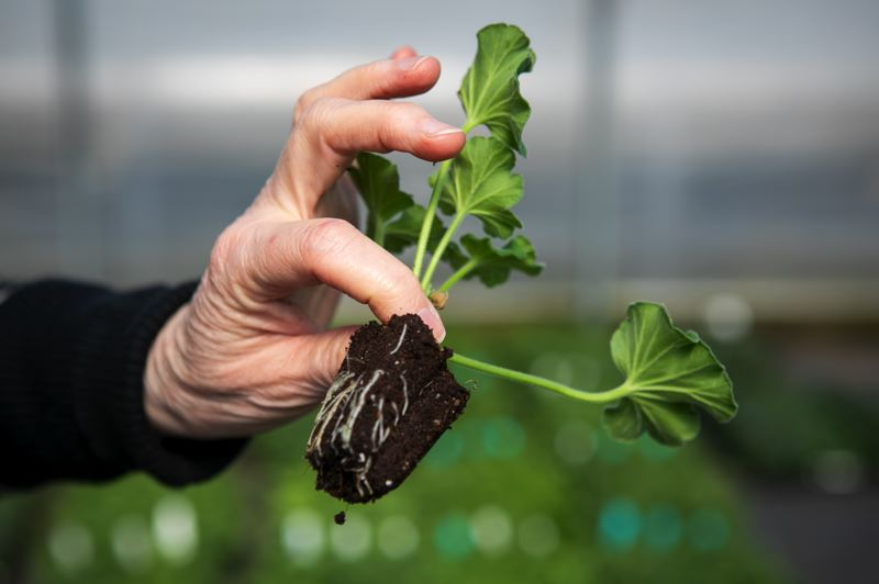 PAMPLIN MEDIA GROUP: JAIME VALDEZ - Deep roots are important when it comes to plants that will sell and stay alive long enough that new gardeners don't assume they have a black thumb.
