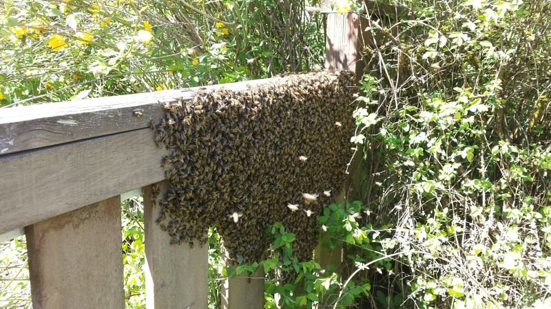 COURTESY PHOTO: DEBBY GARMAN - These honey bees are swarming while scouts search for a suitable location to build a hive. If you live in Washington County and you see a honey bee swarm, contact the Tualatin Valley Beekeepers Association so a trained beekeeper can come out and safely relocate the swarm. Bees are vital pollinators and typically don't sting unless provoked, so leave the swarm alone and it will likely leave you alone as well.