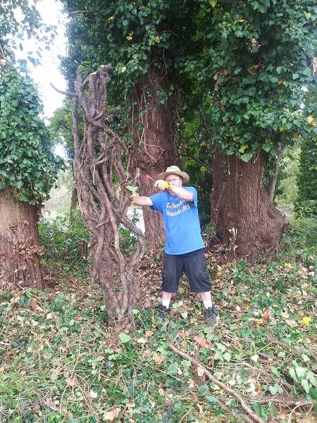 COURTESY PHOTO - Happy Valley resident Monte Harris pulls out a big root of invasive English ivy while saving trees at Gladstone's Meldrum Bar Park.