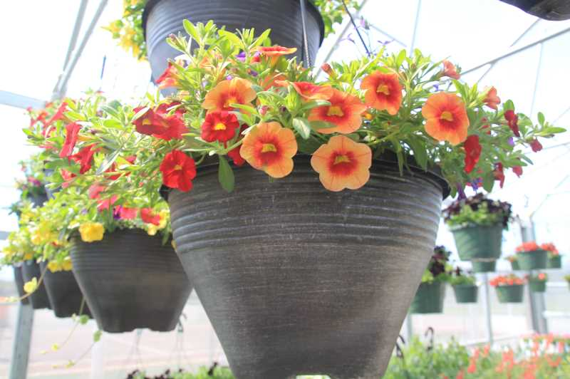 PMG PHOTO: JUSTIN MUCH - Among the assorted North Marion FFA plant sale items are a wide variety of hanging baskets.