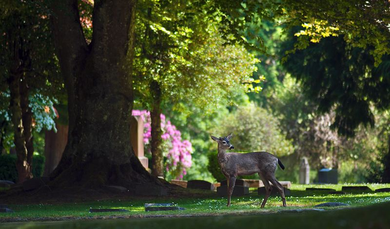 COURTESY PHOTO: RIVER VIEW CEMETERY - River View remains a popular destination for community members who seek the solace of its greenspaces, stunning views of Mt. Hood, and nearly 70 forested acres of deep ravines and year-round streams.