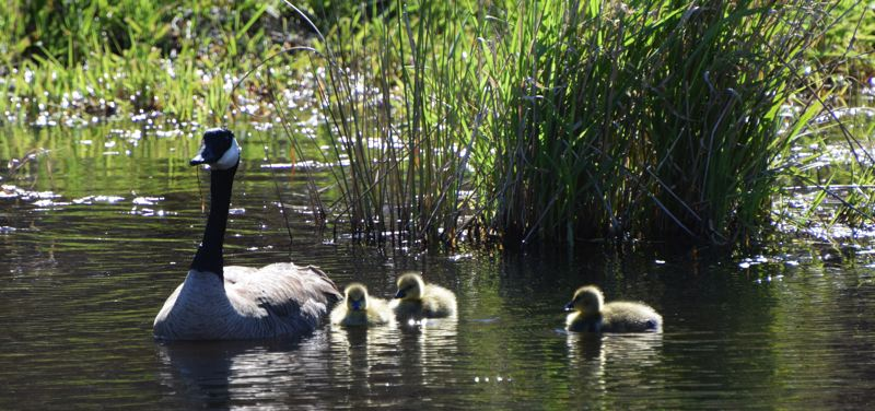 COURTESY PHOTO: CAROL ZYVATKAUSKAS - Nature photographer Carol Zyvatkauskas captured this shot of the first goslings of the year at Fairview Creek  Headwaters. She promises ducklings and baby bunnies are close behind.
