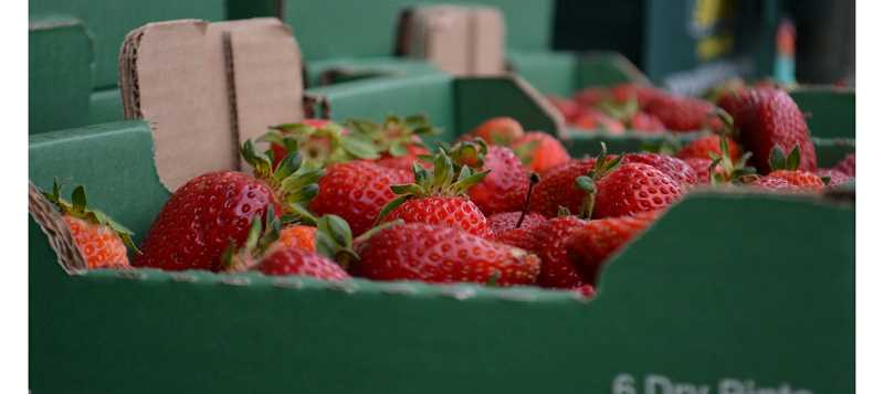 Beautiful Oregon strawberries from Unger Farms in Cornelius