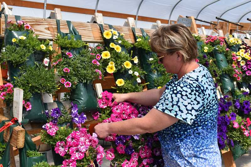 RAMONA MCCALLISTER/CENTRAL OREGONIAN - Kristi Breese tends to some of her baskets in her #two greenhouse, where she has as many baskets as possible and decorative pots that she can get into the space, with more than 1,000 items in the greenhouse.