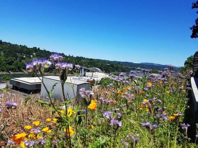 COURTESY PHOTO - The Wildflower Walk blooms in its first season in 2019, overlooking Oregon City's Arch Bridge.