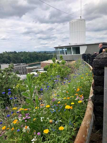 COURTESY PHOTO: GRETCHEN NATION - Tour groups May 8 will leave from the top of Oregon Citys Municipal Elevator to look at wildflowers along the McLoughlin Promenade and gardens throughout the neighborhood.