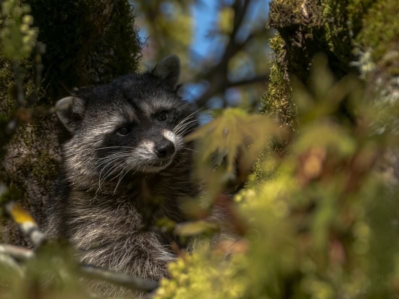 COURTESY PHOTO  - 'Backyard Visitor' by Ina Clark recieved third place in the 'Plants and Wildlife in Lake Oswego' category in 2020.
