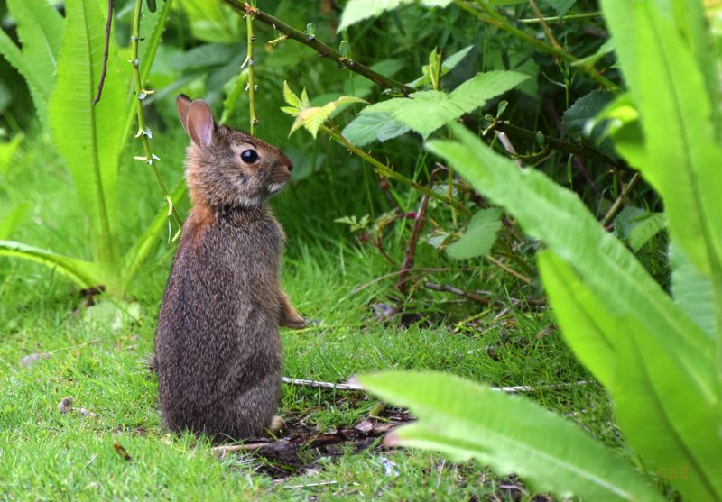 COURTESY PHOTO: CAROL ZYVATKAUSKAS - This young rabbit lives in the blackberry brambles in Main City Park.